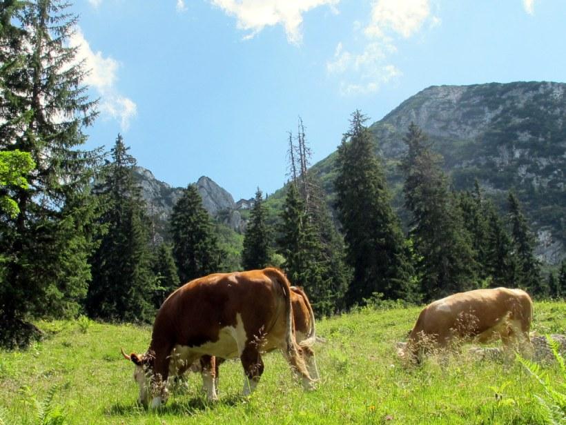 Oberbayerische Kühe, Hütte im fernen Hintergrund